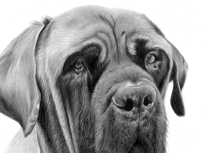 English Mastiff Pencil Drawing
